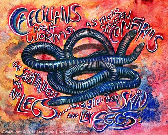 Caecilians - leah Jay - Amphibian Love