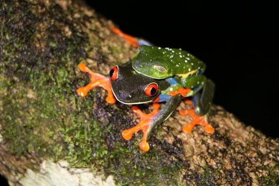 Agalychnis callidryas Red Eyed Treefrogs amplexus TAMU Soltis Center 1