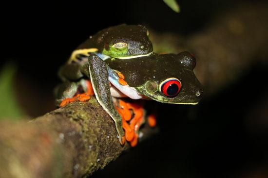 Agalychnis callidryas Red Eyed Treefrogs amplexus TAMU Soltis Center 3