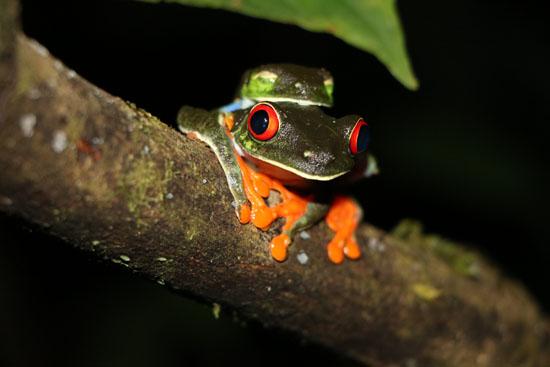Agalychnis callidryas Red Eyed Treefrogs amplexus TAMU Soltis Center 4