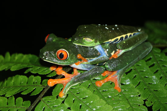 Agalychnis callidryas Red Eyed Treefrogs amplexus TAMU Soltis Center 5