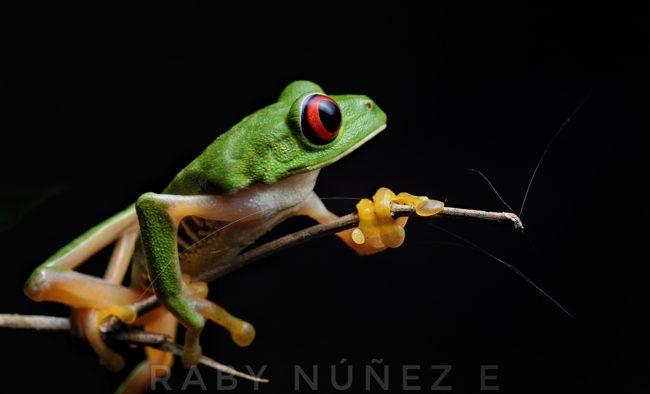 Agalychnis callidryas - Red-eyed Treefrog Raby Nunez Costa Rica sierpefrogs