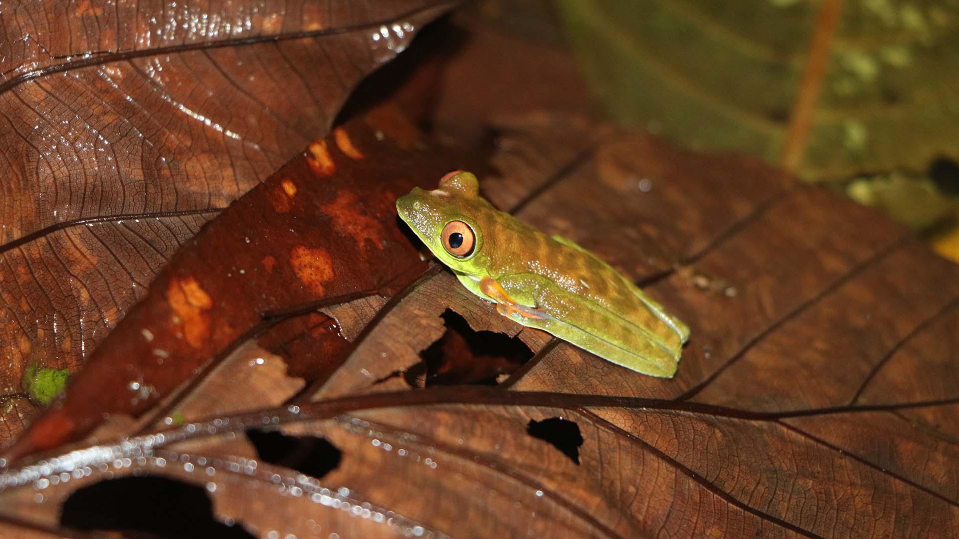 Costa Rica Amphibians