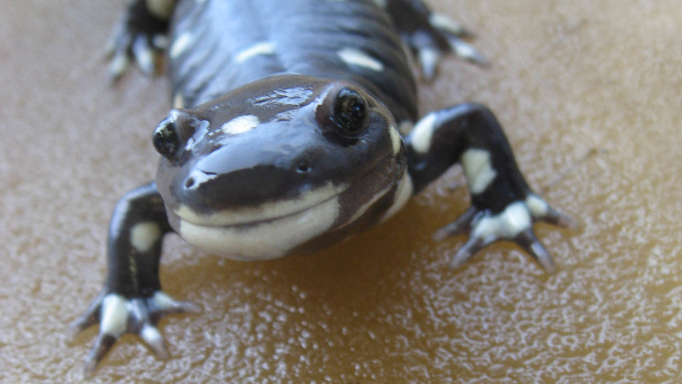 California Tiger Salamander