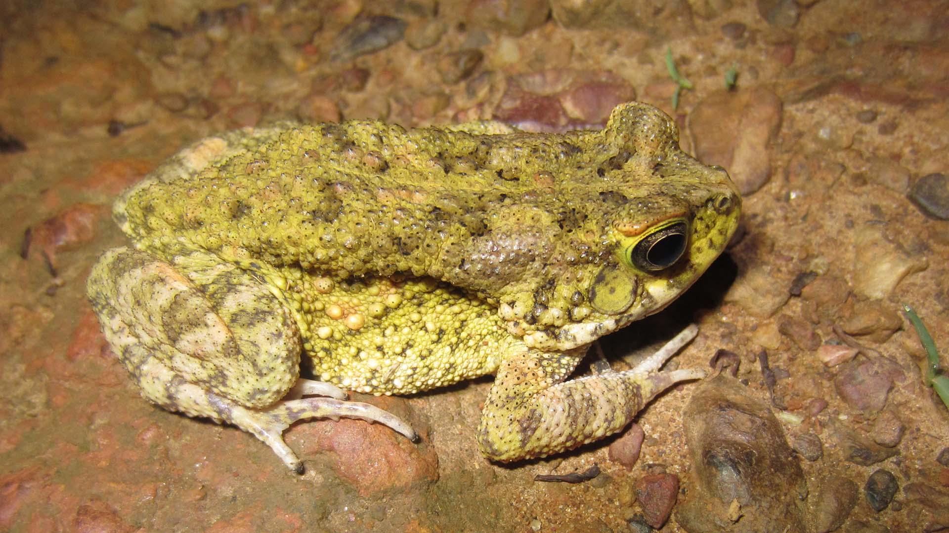 ghana frog biologist