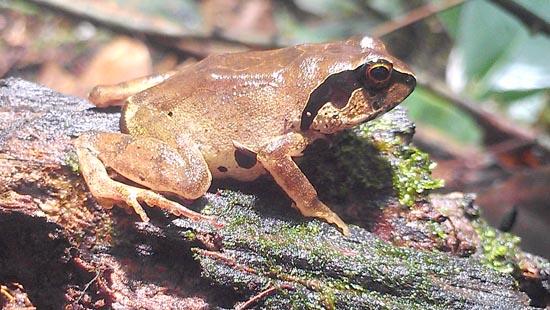 Giant Squeaker Frog