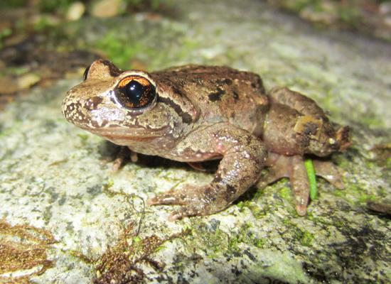 Ascaphus-truei tailed frog British Columbia BC