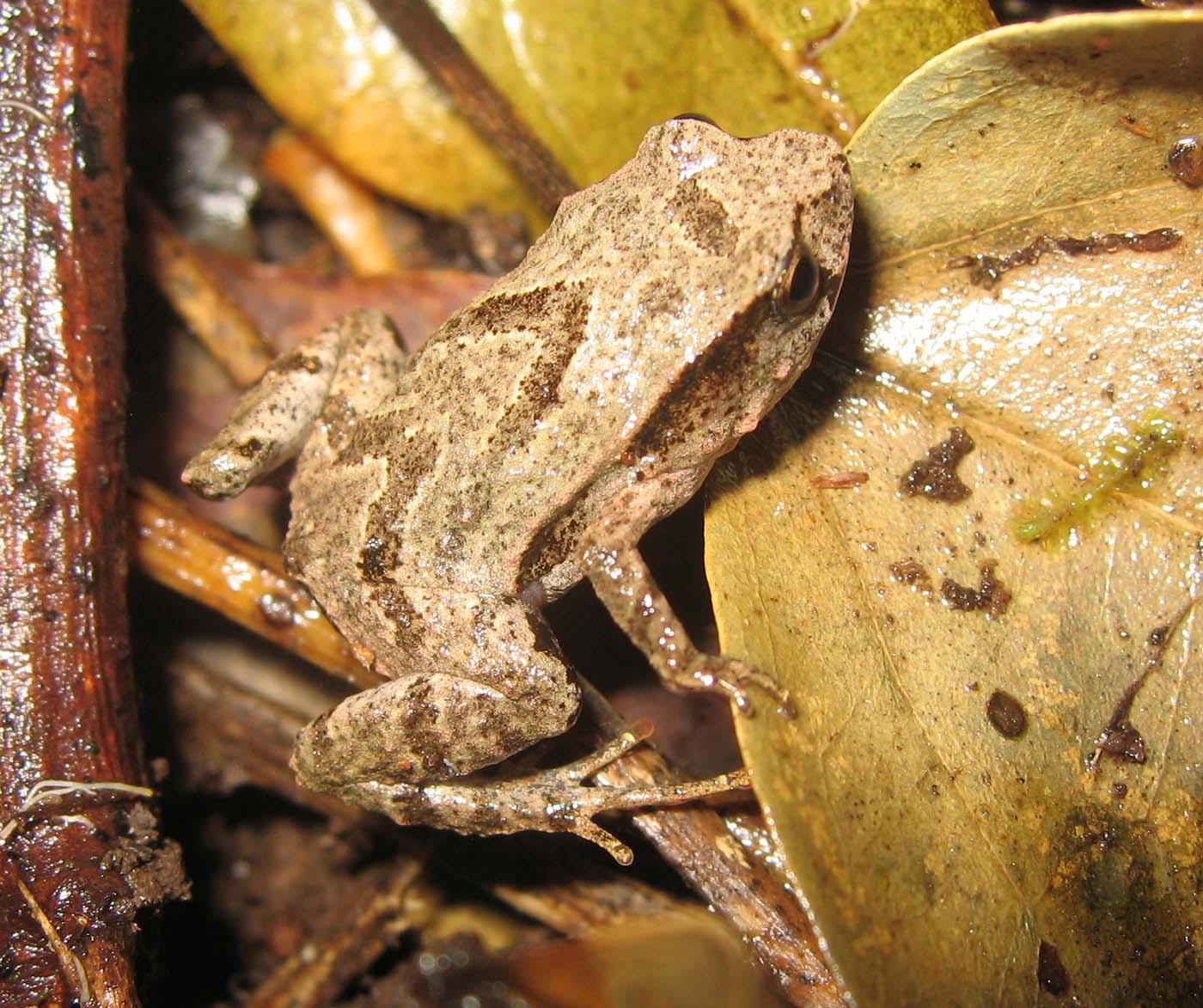 Assa darlingtoni Marsupial Frog