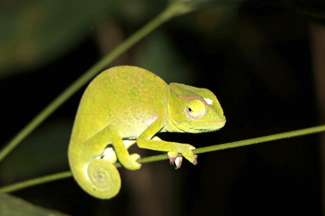 Chameleon Ghana