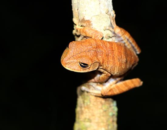 Bokermannohyla frogs santuario do caraca
