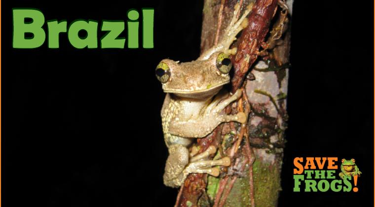 Brazil amphibians course