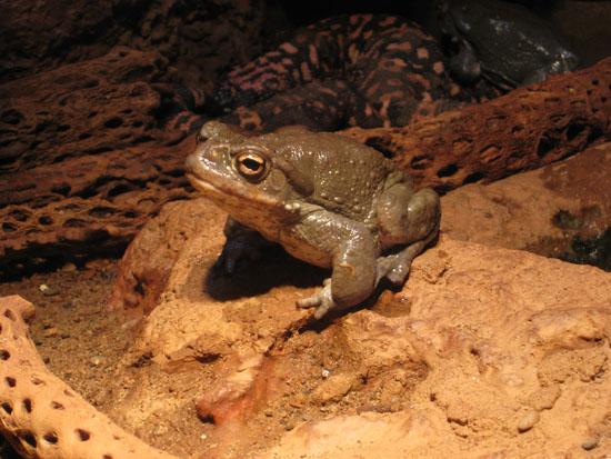 Bufo alvareus sonoran desert toad