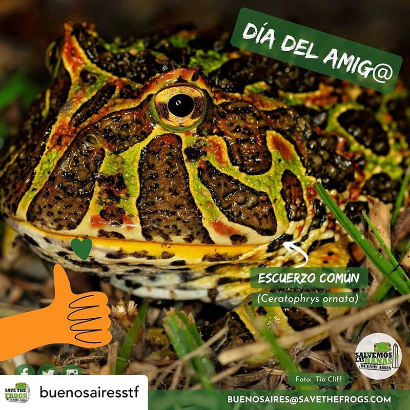 Ceratophrys Ornata Escuerzo Comun