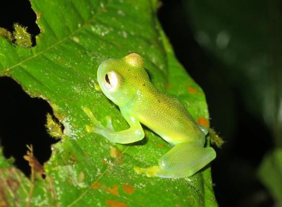 Glass Frogs Costa Rica