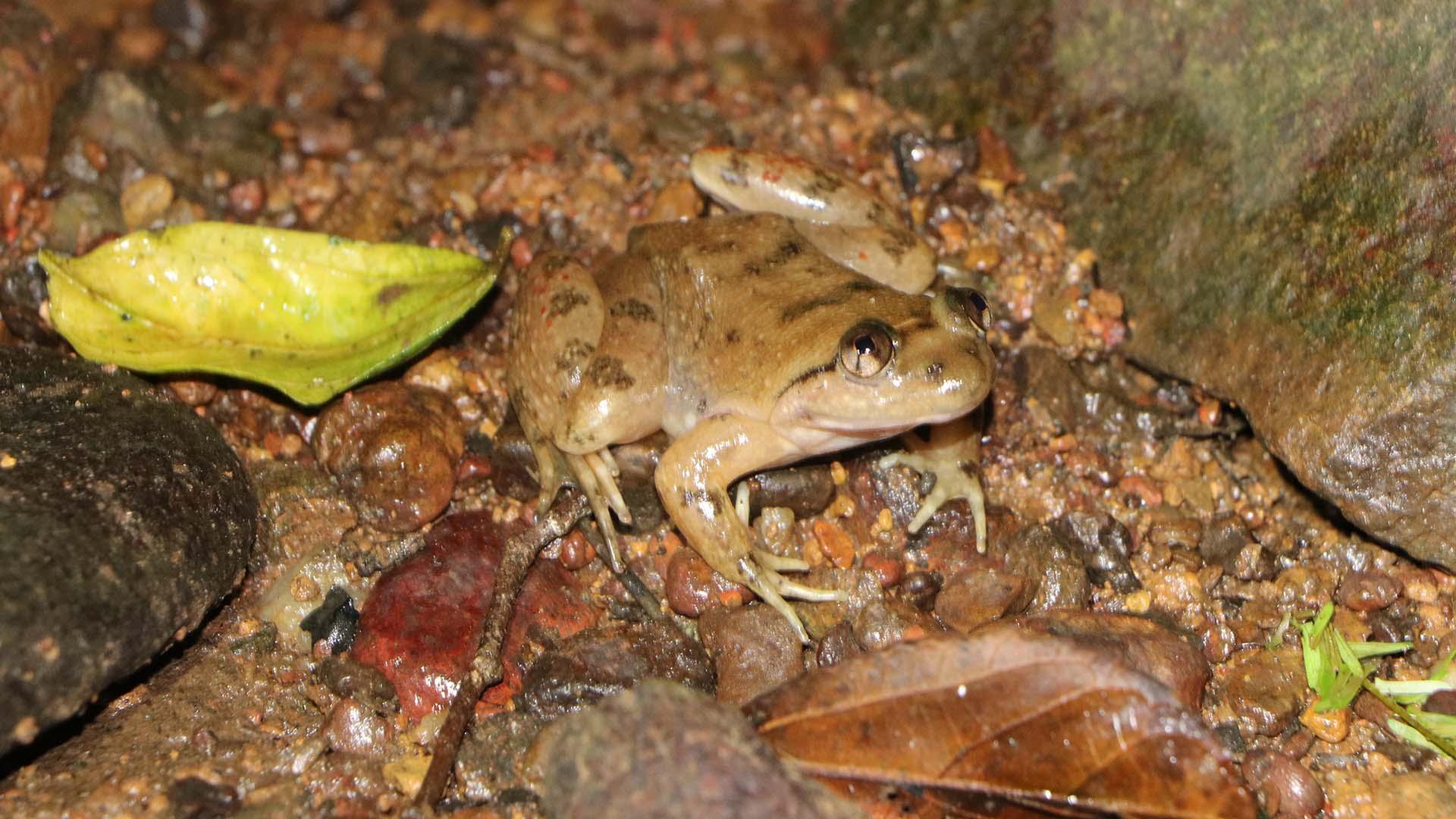 ghana frogs conraua alleni