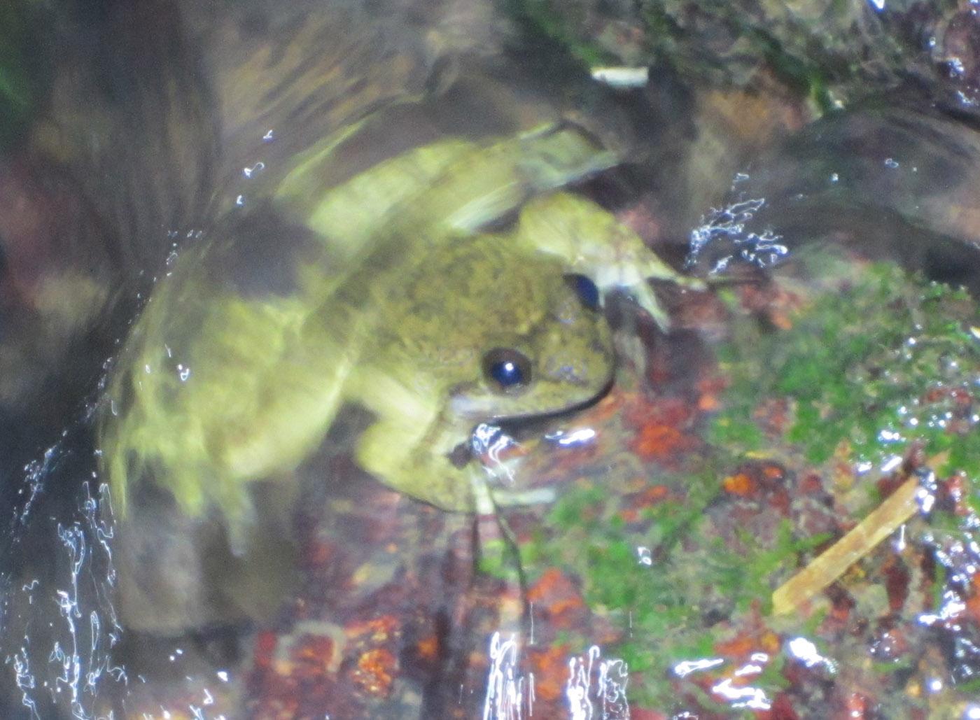 Togo Slippery Frog