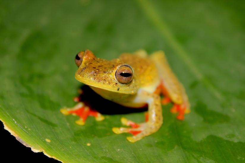 Costa Rica Gladiator Frog