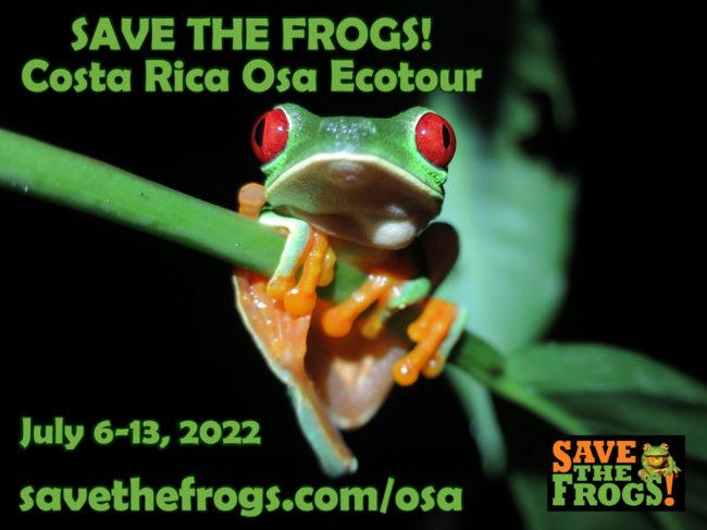 Frogs Osa Peninsula Ecotour