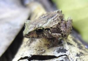 Craugastor rodophis - Chiapas
