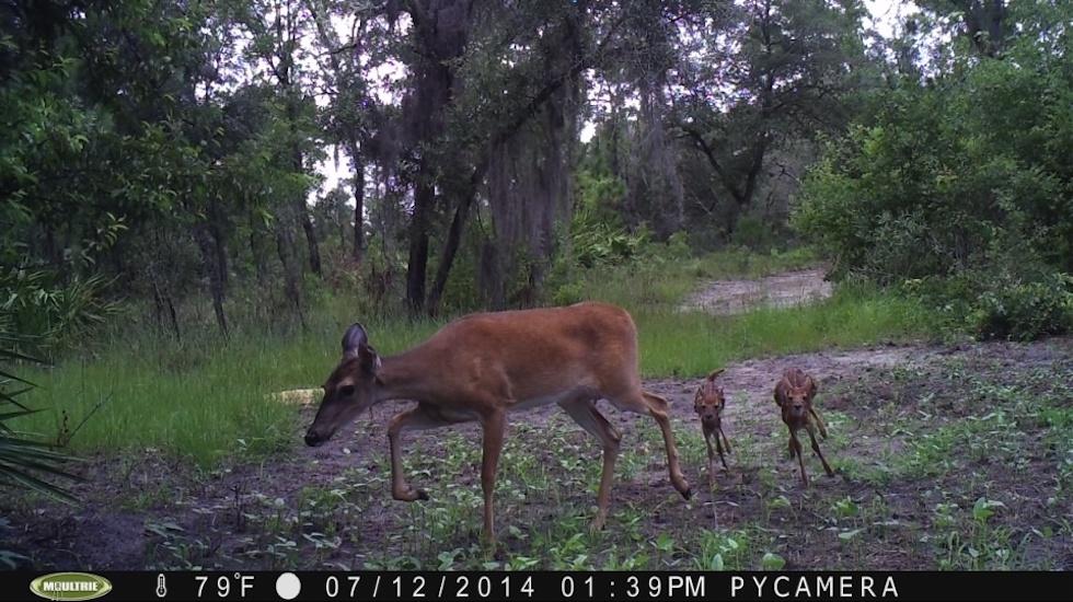 Deer With Juveniles