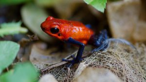Costa Rica Dart Frogs