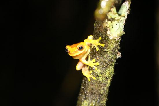 Dendropsophus ebraccatus TAMU Soltis Center 3