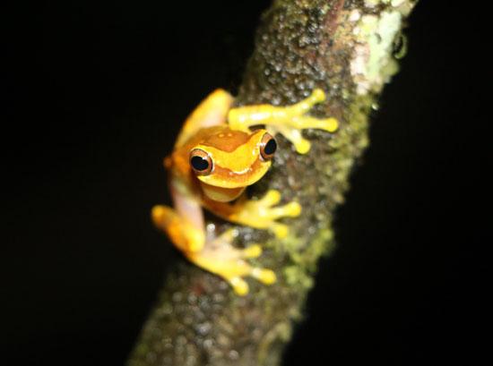 Dendropsophus ebraccatus TAMU Soltis Center 5 550a