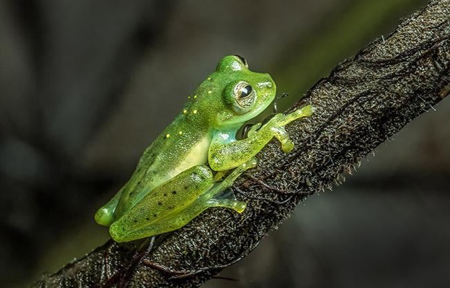 Ecuador Glass Frog