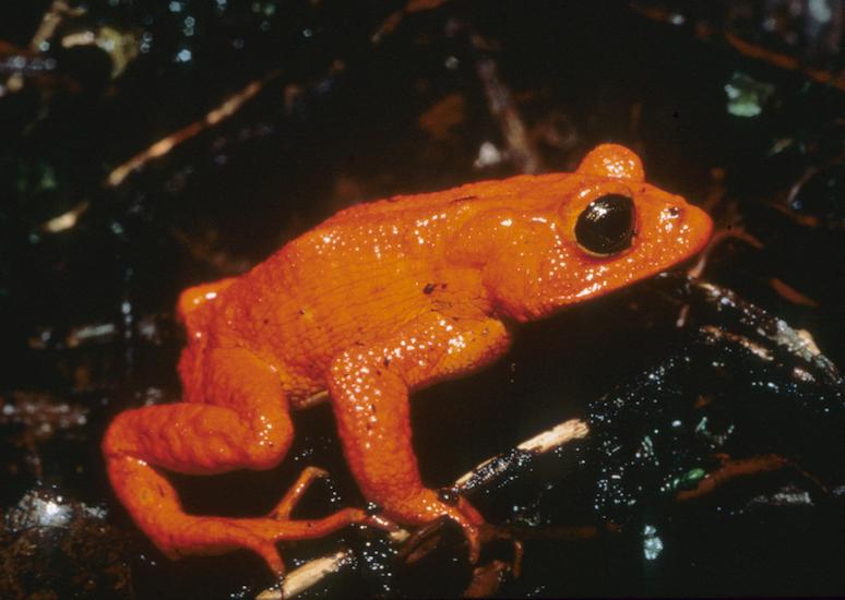 Golden toad image M. Crump 550