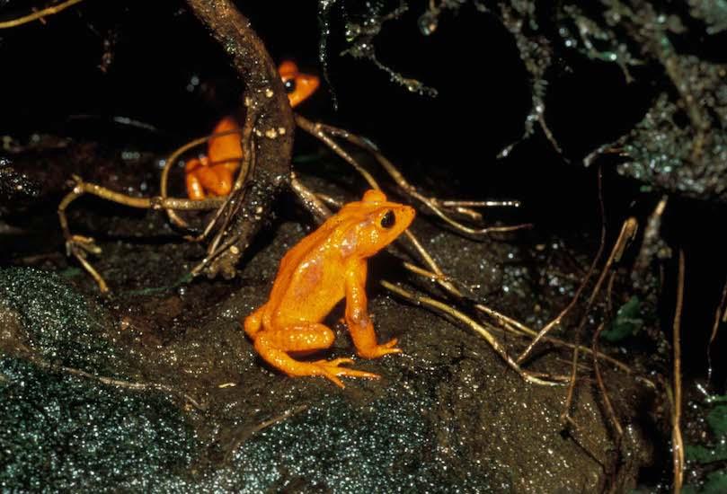 Golden toads M. Crump 550