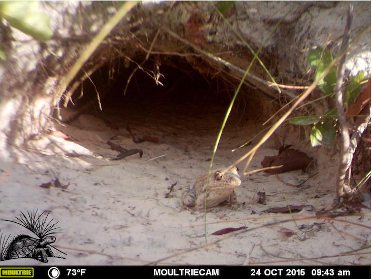 Gopher frog outside burrow WM