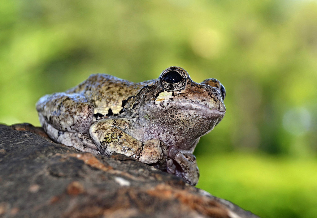 Hyla versicolor Save The Frogs World Summit Alex Roukis