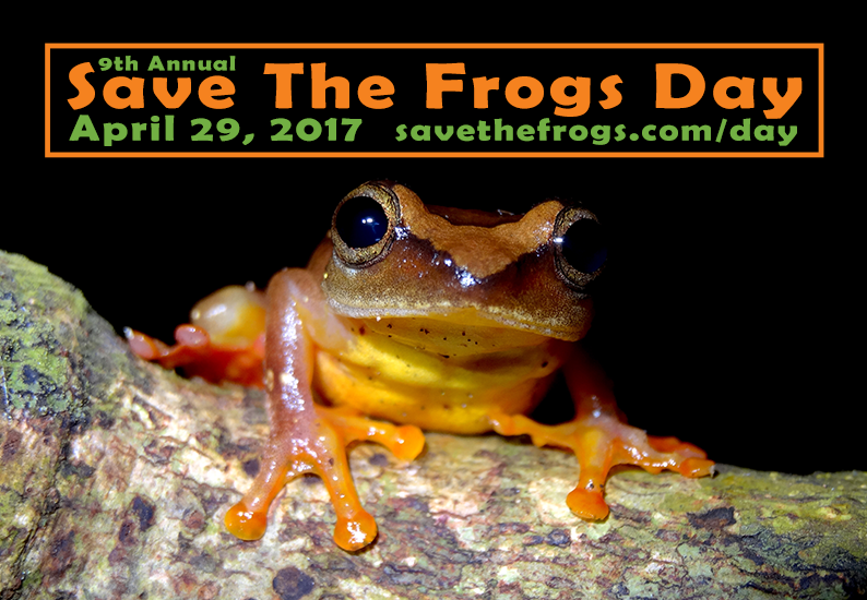 Hyperolius laurenti Schiotzs Reed Frog Icon STF Day 2017 550