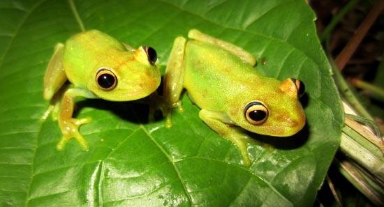 Hypsiboas cinerascens colombia frogs