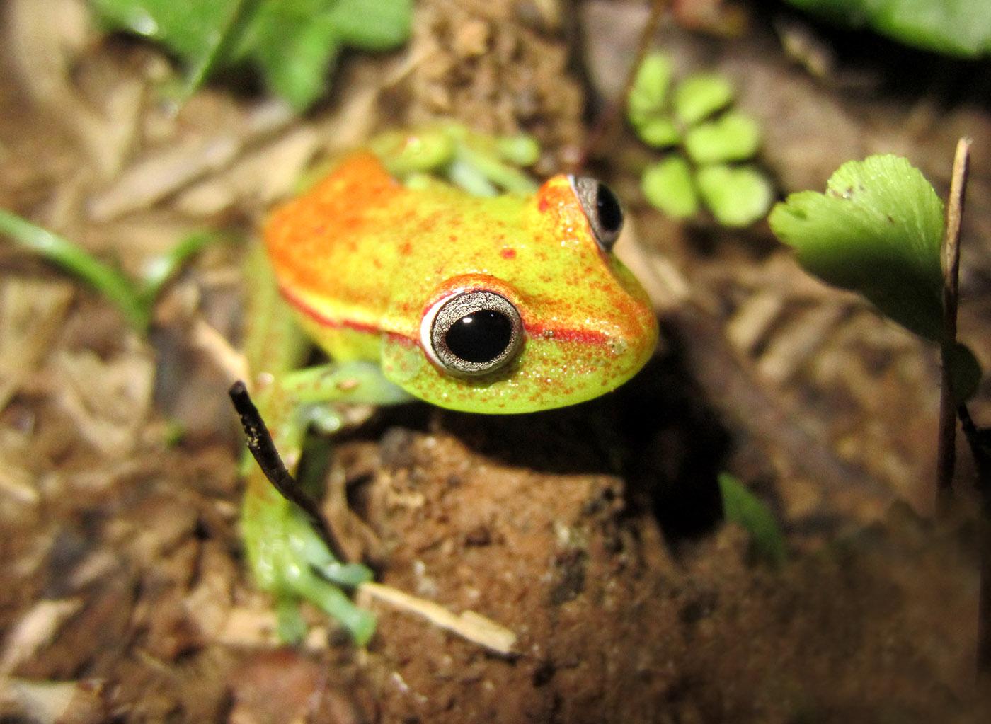 Hypsiboas punctatus Colombia frog