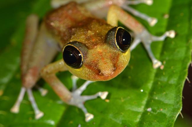 Eleutherodactylus cooki