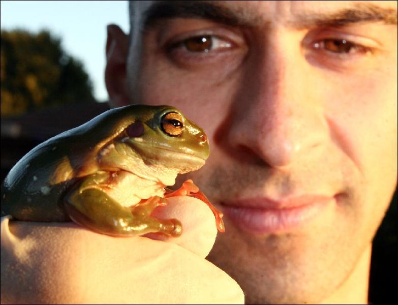 Kerry Kriger Green Tree Frog Litoria caerulea