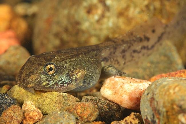 Leptodactylus albilabris