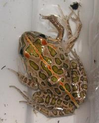Frog deformities