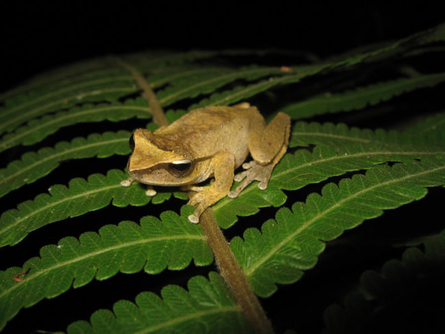 Litoria arfakiensis Papua New Guinea