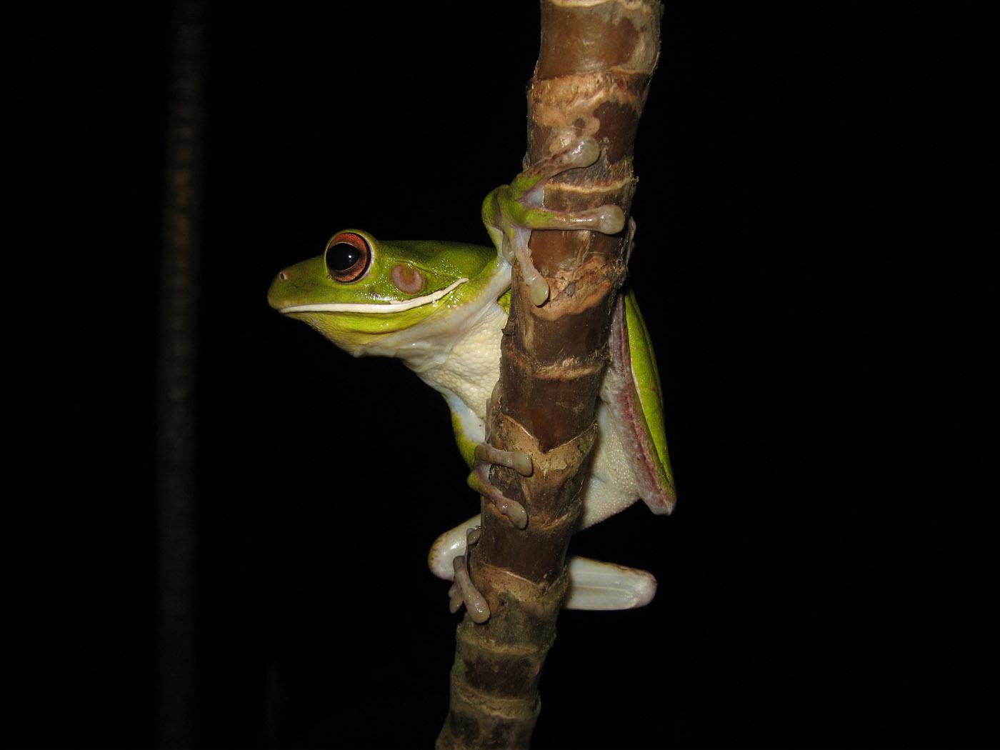 Litoria infrafrenata white lipped treefrog