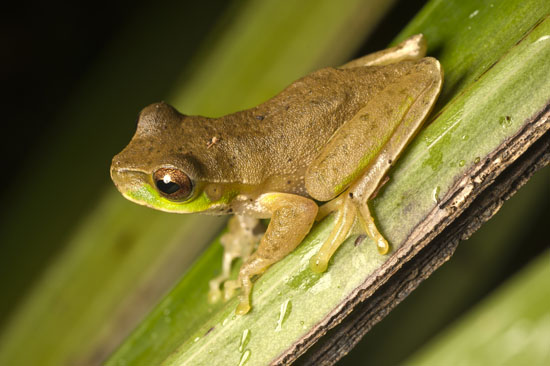Litoria pearsoniana three year plan