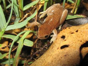 Litoria rubella - Naked Treefrog