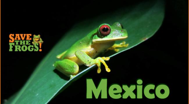 Mexico Amphibians Course