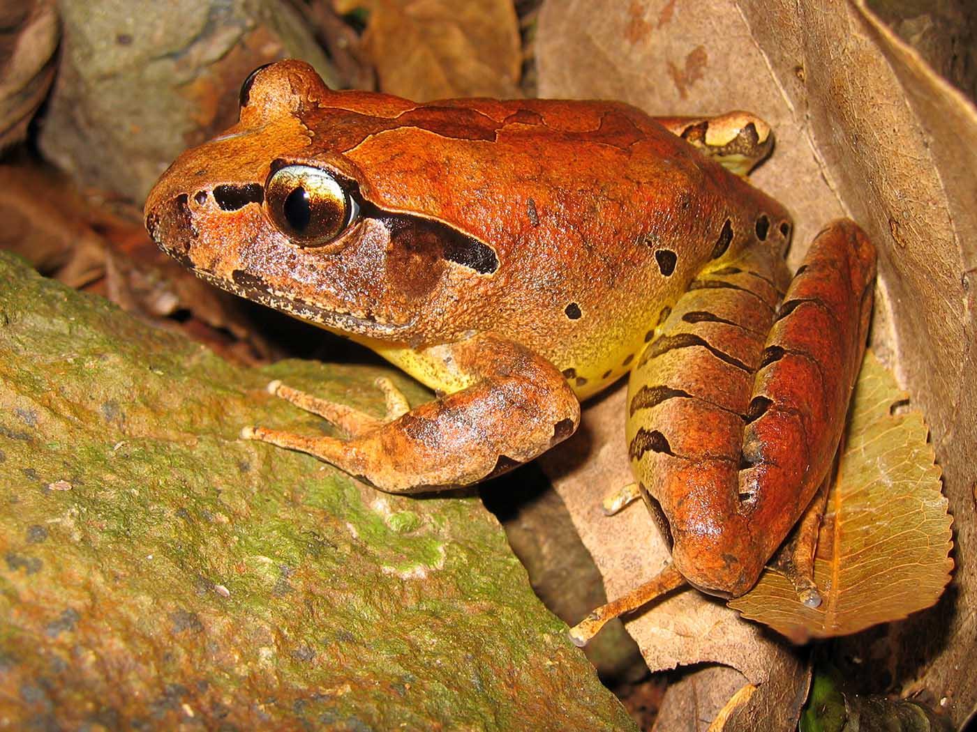 Mixophyes fleayi adult Australia Fleay's barred frog