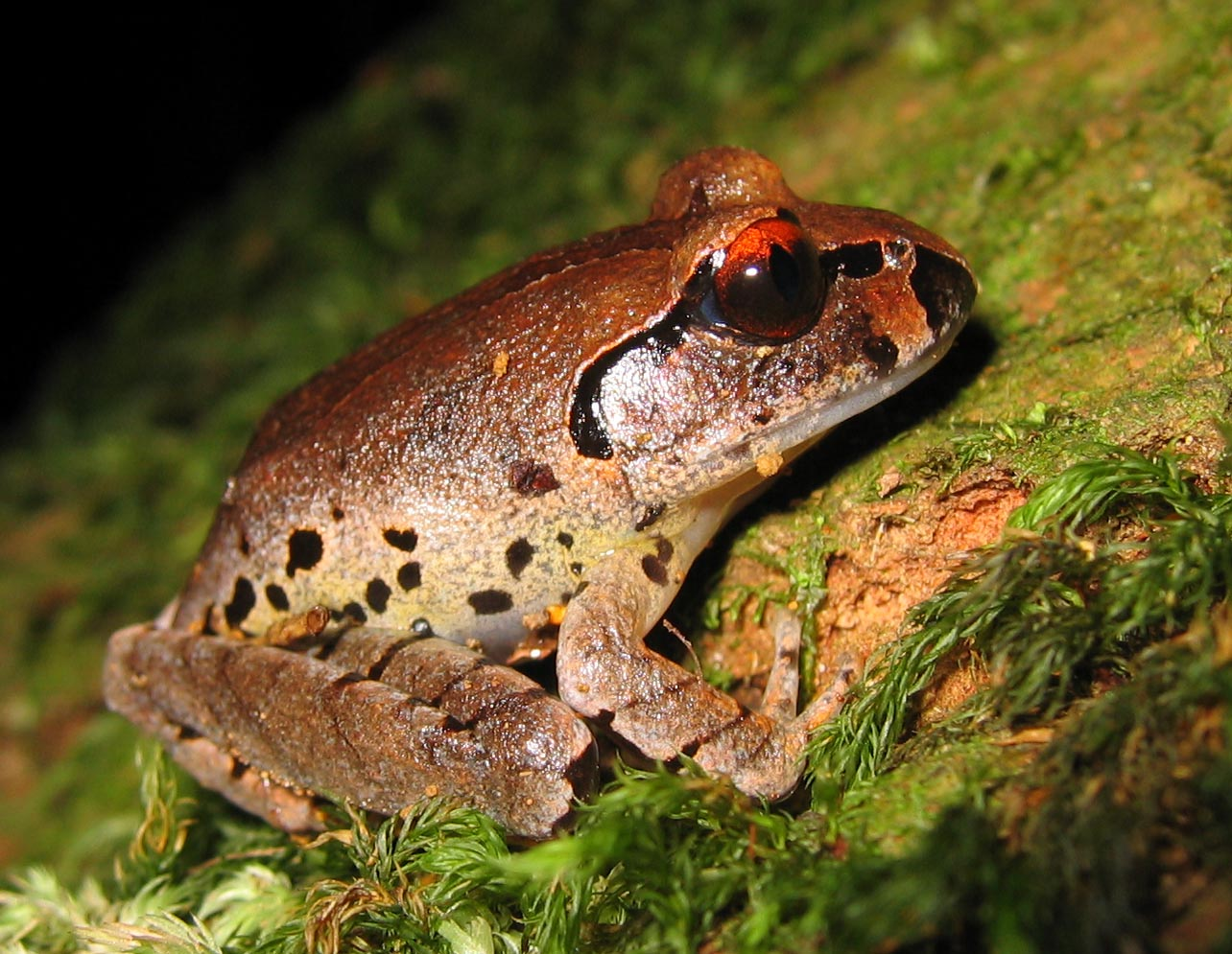 Mixophyes fleayi juvenile Australia Fleay's barred frog