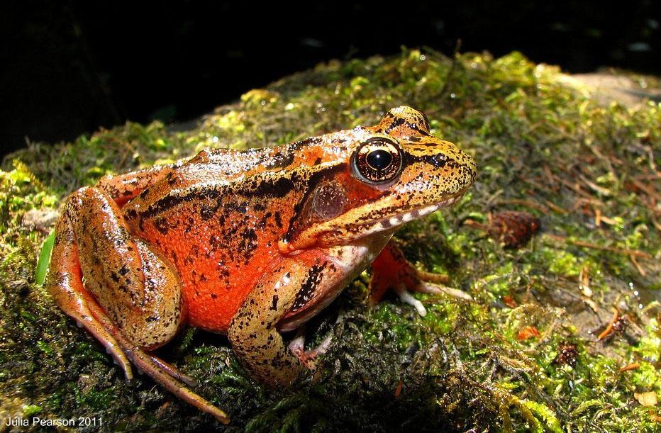 Northern Red Legged Frog Rana aurora Julia Kirby