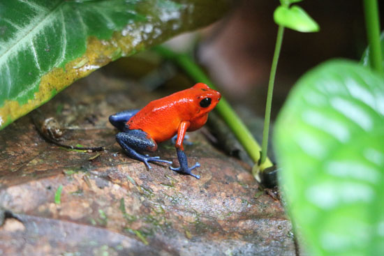 Oophaga pumilio TAMU Soltis Center 1