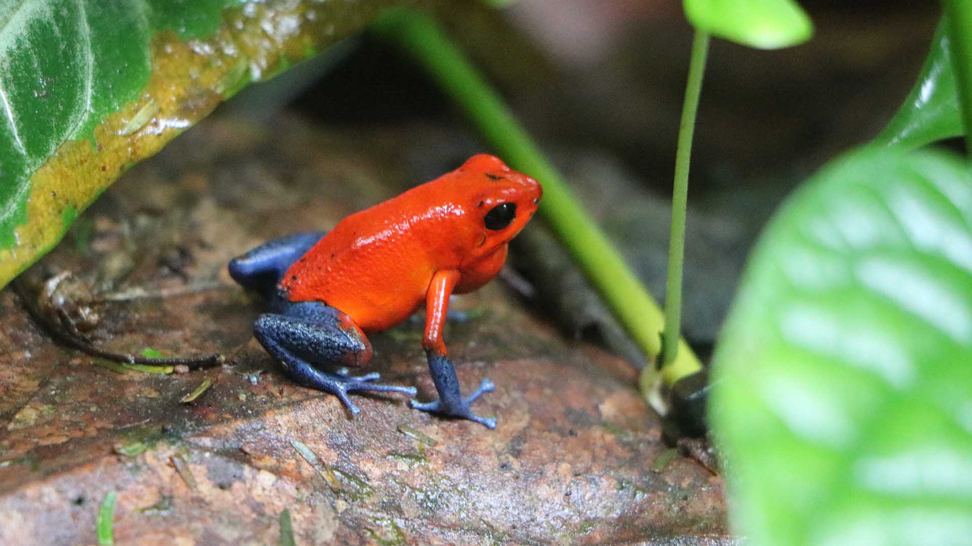 strawberry poison dart frogs wild