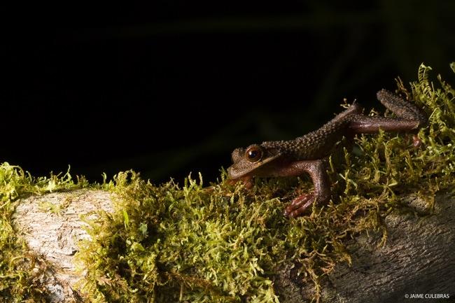 Ecuador Amphibians